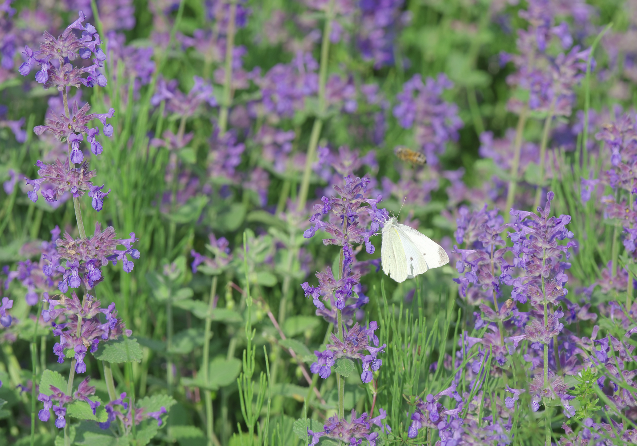 Catmint with white butterfly