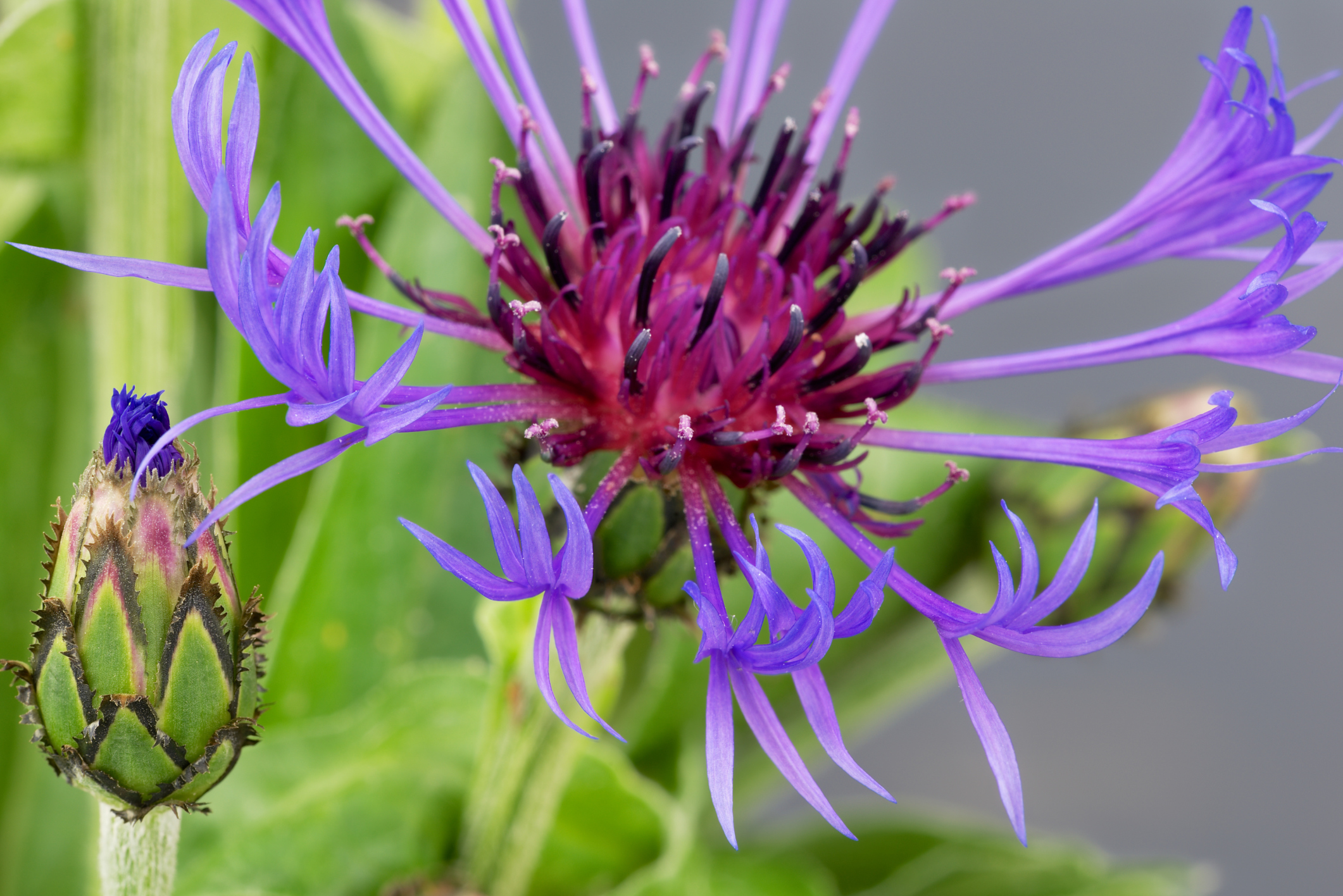 Cornflower (centaurea cyanus) close up.