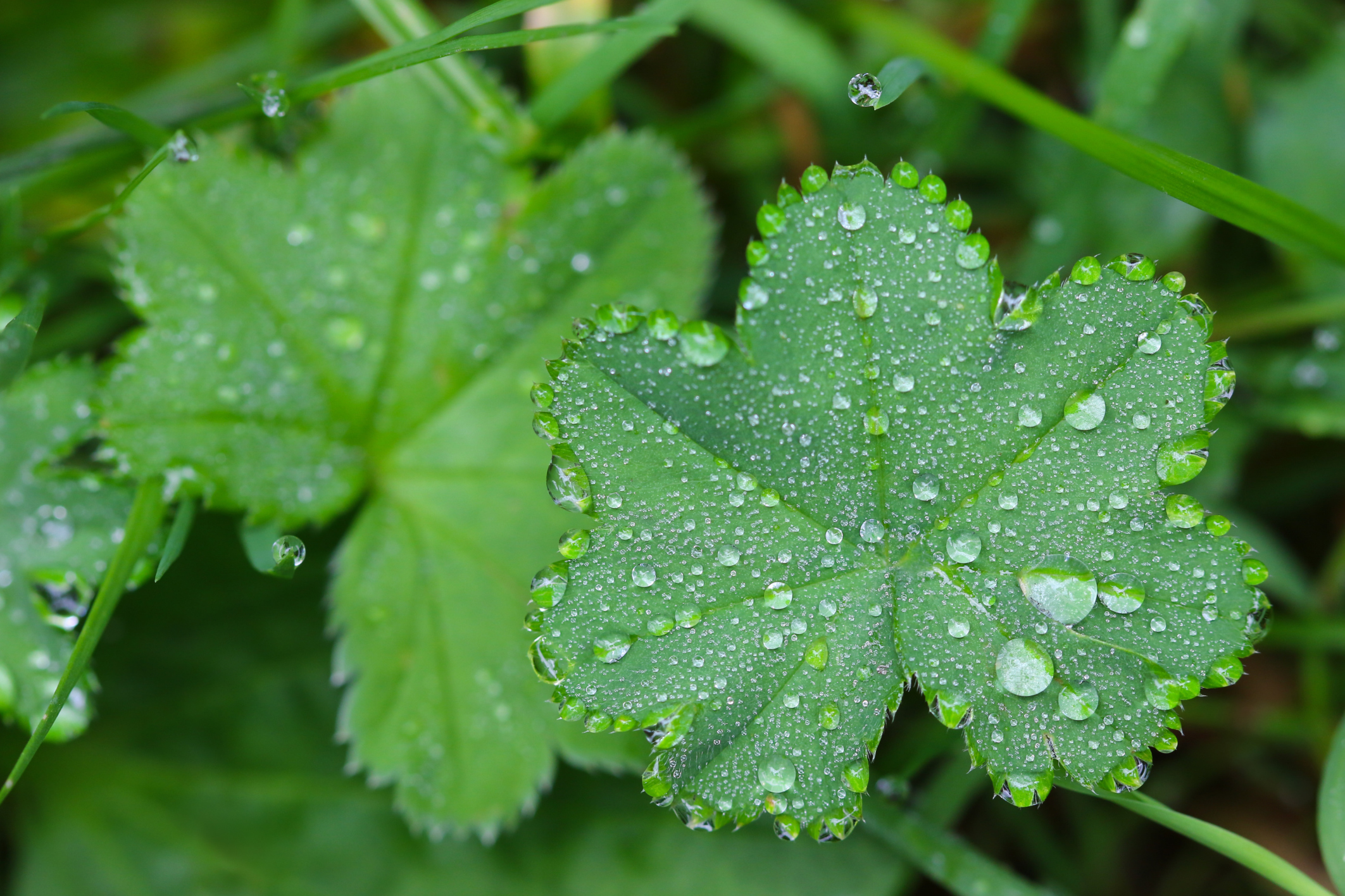 Drops of water on Lady's mantles leaves (Alchemilla)